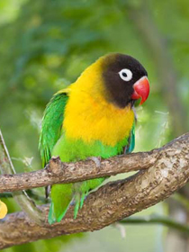 Pet shop ,,Zoo Amazona'' Lovebird2