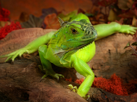 Pet shop ,,Zoo Amazona'' Iguana2