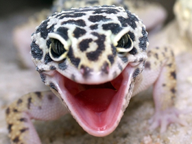 Pet shop ,,Zoo Amazona'' Leopard-gecko