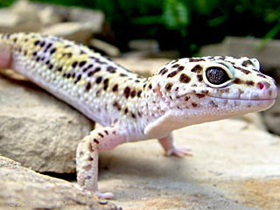 Pet shop ,,Zoo Amazona'' Leopard-gecko1