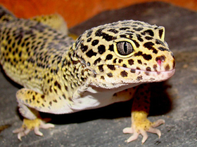 Pet shop ,,Zoo Amazona'' Leopard-gecko2