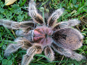 Pet shop ,,Zoo Amazona'' Tarantula1