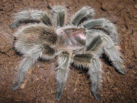 Pet shop ,,Zoo Amazona'' Tarantula3